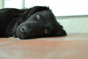 1424713_black_dog_face_1.jpg